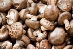 Shitake mushroom Stock Photography