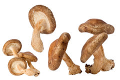 Shitake Mushrooms (Lentinula edodes) Stock Photo