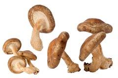 Shitake Mushrooms (Lentinula edodes) Stock Photo