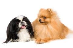 Shitsu and the spitz-dog Royalty Free Stock Photography