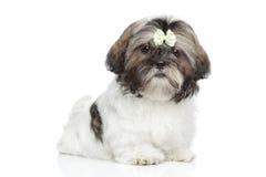 Shitzu在白色背景的小狗画象 免版税库存照片
