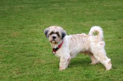 shitzu σκυλιών Στοκ φωτογραφία με δικαίωμα ελεύθερης χρήσης