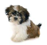 Shitzu do cachorrinho Imagens de Stock