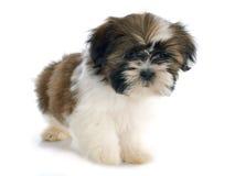 Shitzu do cachorrinho Imagem de Stock Royalty Free