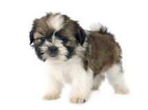 Shitzu do cachorrinho Fotos de Stock