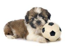 Shitzu do cachorrinho Imagem de Stock