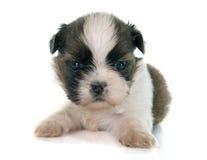 Shitzu do cachorrinho Foto de Stock Royalty Free
