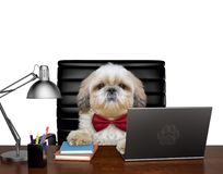 Shitzu dog manager is doing some work on the computer. Isolated on white. Background royalty free stock photo