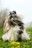 Shitzu dog runs. Dog breed Shi tzu runs forward wool fluttering in the wind Stock Photos