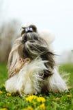 Shitzu dog runs. Dog breed Shi tzu runs forward wool fluttering in the wind stock photos