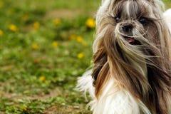 Shitzu dog runs Stock Photography