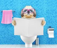 Shitzu dog sitting on a toilet seat with digestion problems or constipation reading magazine or newspaper. Shitzu dog sitting on a toilet seat with digestion Stock Photo