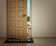 Shitzu dog waiting near the door with leather leash, ready to go for a walk with his owner royalty free stock photos
