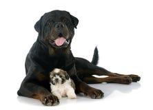 Shitzu e rottweiler do cachorrinho Imagens de Stock Royalty Free