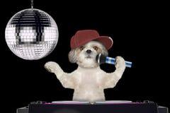 Shitzu jest prześladowanym śpiew z mikrofonem karaoke piosenka w noc klubie -- odizolowywający na czerni obrazy stock