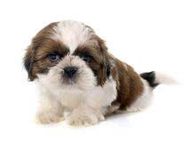 Shitzu joven del perrito imagen de archivo