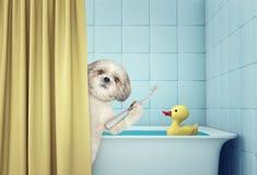 Shitzu lindo en el baño fotos de archivo
