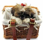 Shitzu puppies Stock Photography