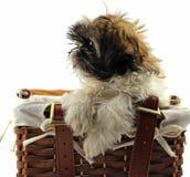 Shitzu puppies Royalty Free Stock Photo