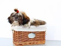 Shitzu puppies Royalty Free Stock Photography