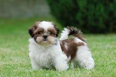 Shitzu puppy. Portrait in the garden Stock Photography