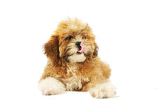 Shitzu Puppy. A Shih Tzu puppy isolated on a white background Stock Photos
