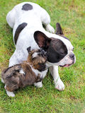 Shitzu puppy and french bulldog Stock Photos
