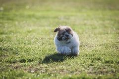 Shitzu puppy running in the park. Happy Shitzu puppy running in the park stock photos