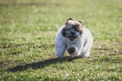 Shitzu puppy running in the park. Happy Shitzu puppy running in the park royalty free stock image