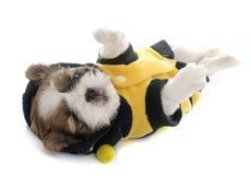 Shitzu vestido del perrito Fotos de archivo