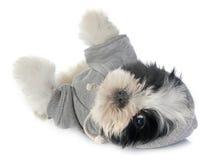 Shitzu vestido do cachorrinho Imagem de Stock