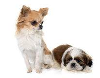 Shitzu y chihuahua jovenes del perrito fotografía de archivo