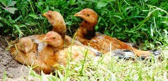 Shivering chicks huddled Royalty Free Stock Images