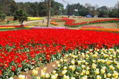 Shixianghu, China: Tulip Festival Gardens Stock Images