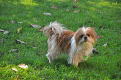 Shizu dog on green lawn Stock Images
