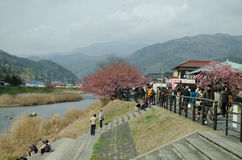 SHIZUOKA, JAPAN -  FEBRUARY 24 : Tourists are visiting the cherr Royalty Free Stock Photography