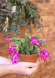 Shlumbergera - de cactus van Kerstmis in de handen Stock Afbeelding
