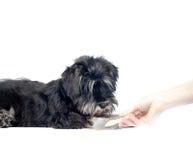 Shnauzerpuppy en groomer hand Stock Foto's