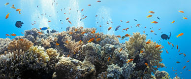 Shoal of anthias fish. On the coral reef - panorama royalty free stock images