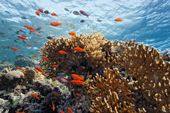 Shoal anthias fish on the coral reef Royalty Free Stock Photo
