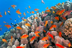 Shoal anthias fish on the coral reef. In the red sea stock photography