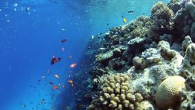 Shoal on anthias fish on coral reef stock video footage