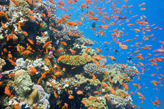 Shoal of Anthias fish on the reef Royalty Free Stock Image