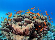 Shoal of Anthias over Goniopora Reef Red Sea Royalty Free Stock Photos