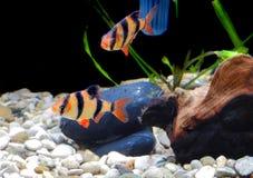 Shoal of aquarium fish Stock Images