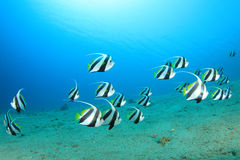 Shoal of Bannerfish Royalty Free Stock Images