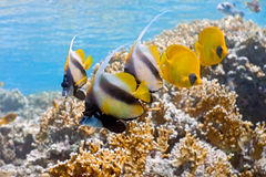 Shoal of bannerfish and butterflyfish Stock Photo
