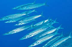 Shoal of barracuda underwater Royalty Free Stock Photography