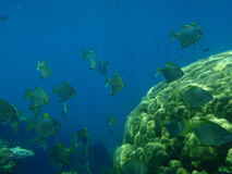 Shoal of batfish Stock Images