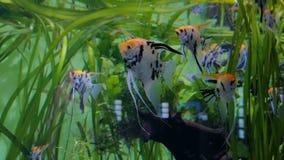 Shoal of beauty scalars. Green algae on background stock footage